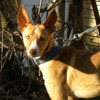 Roma, Chien  à adopter