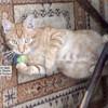 Garfield, Chat européen à adopter