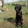 Spike, Chien border collie, labrador retriever à adopter