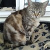 Lidjy, Chat  à adopter