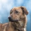 Vesta, Chien berger hollandais à adopter