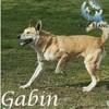 Gabin, Chien  à adopter