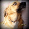 Iris, Chien basset hound, berger belge à adopter