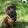 Marcel, Chiot boxer, cane corso à adopter