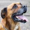 Rickers, Chien boxer à adopter