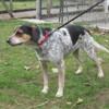 Jazz, Chien beagle à adopter