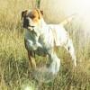 Honey, Chien bulldog à adopter