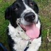 Mouffette, Chien border collie, chien de montagne des pyrénées à adopter