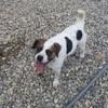 Rambo, Chiot beagle à adopter