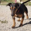 Paulo, Chien  à adopter