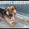 Kimbo, Chien berger allemand à adopter