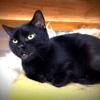 Balou, Chat européen à adopter