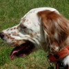 Fripouille, Chien setter anglais à adopter