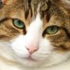 Aiglon, Chat européen à adopter