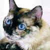 Chanel, Chat européen, siamois à adopter