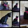 Nouka, Chaton européen à adopter