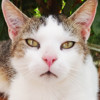 Alton, Chat européen à adopter
