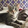 Yanna, Chat européen à adopter