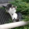 Lilas, Chat gouttière à adopter