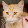 Shipie superbe rousse, Chat  à adopter