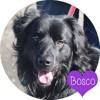 Bosco, Chien border collie, flat-coated retriever à adopter