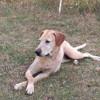 Hashley, Chien labrador retriever à adopter