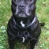 Gasko, Chien staffordshire bull terrier à adopter