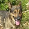 Varon, Chiot berger allemand, chien-loup tchèque à adopter