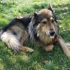 Eliott, Chien chien-loup tchèque, husky sibérien à adopter