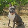 J'chloe dit aika, Chien american staffordshire terrier à adopter