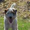Catch, Chien parson russell terrier à adopter
