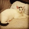 Inéa, Chat  à adopter