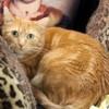 Mylene femelle tigré/roux de 1 an, Chat  à adopter