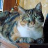 Sitelle tricolore de 4 ans 1/2, Chat à adopter