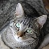 Chouquette femelle tigrée de 3 ans 1/2, Chat à adopter
