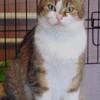 Amande femelle tigré/blanc de 9 ans, Chat  à adopter