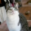 Mila femelle tigré/blanc de 5 ans, Chat à adopter