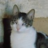 Jack chat tigré/blanc de 5 ans, Chat à adopter