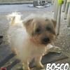Bosco, Chien coton de tuléar, yorkshire terrier à adopter