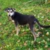 Nala, Chiot griffon bruxellois à adopter