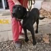 Jack n°14168, Chiot labrador retriever à adopter