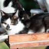 Manolo, Chat européen à adopter
