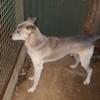 Booba, Chien chien-loup tchèque à adopter