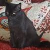Pavlova, Chat européen à adopter