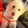 Alegra, Chiot briquet griffon vendéen, west highland white terrier à adopter
