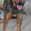 Mirka, Chien berger allemand à adopter