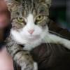 Daphné boîte à ronron, Chat européen à adopter