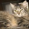 Melisse, Chat européen à adopter