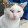 Iris blanche et bleue, Chat européen à adopter