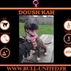 Doush kah, Chien bull terrier à adopter
